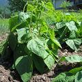Plants de haricots verts