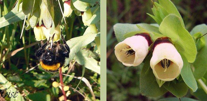 fleur mellifère corolle tubuleuse composée de 5 pétales soudés ourlée de 5 lobes ondulés