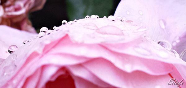 roses gouttes (7)