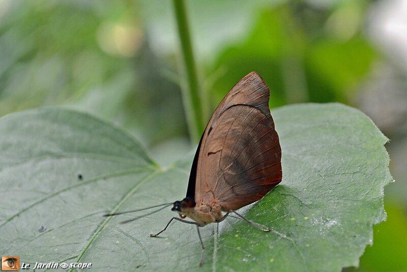 Doleschallia bisaltide • Nymphalidae