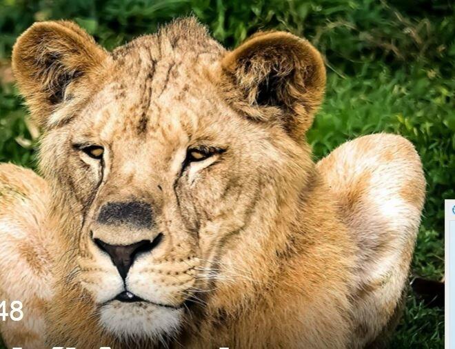 LE LION1