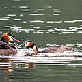 Marais d'orx - grèbes huppées