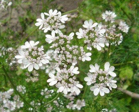 Coriandre_en_fleursbis