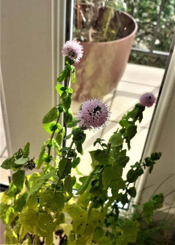 menthe poivrée en fleurs début de septembre 2020