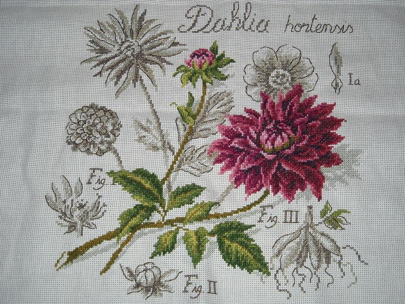 Dahlia 1