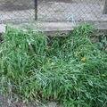 2008 07 07 Mes lys des Incas en fleur aprés la grêle