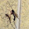 Ichneumon Dolichomitus sp. à l'ovipositeur très développé