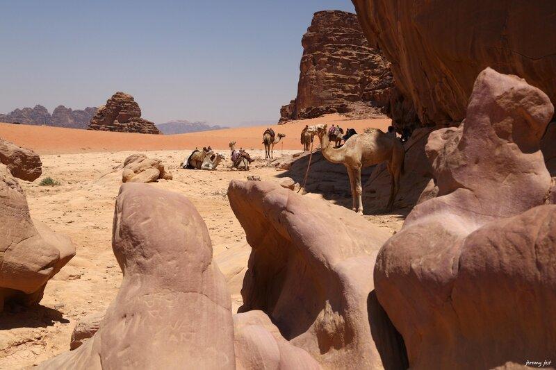 chameaux et roches wadi rum