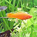 mâle xyphophorus