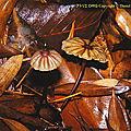Marasmius_purpureostriatus_DRG_2000_CR