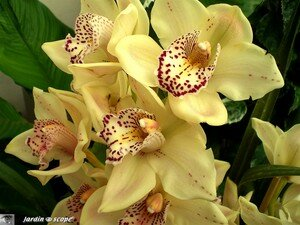 Orchidee_mouche_2