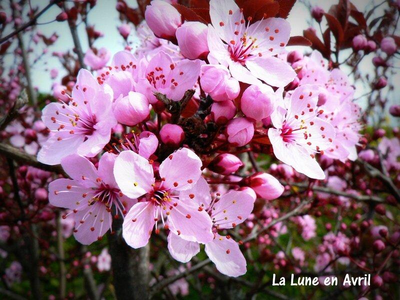 fruitier en fleurs 2