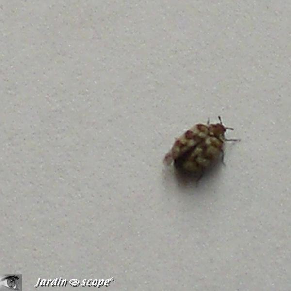 Anthrène du bouillon blanc • Anthrenus verbasci • Dermestidae