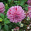 Dahlia-rose-éclaboussé-carmin