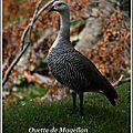 50 IMG_3541 oie commune patagonie 124pps