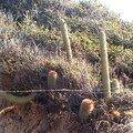 Cactus à Quintay, près de Santiago, sur la côte pacifique.