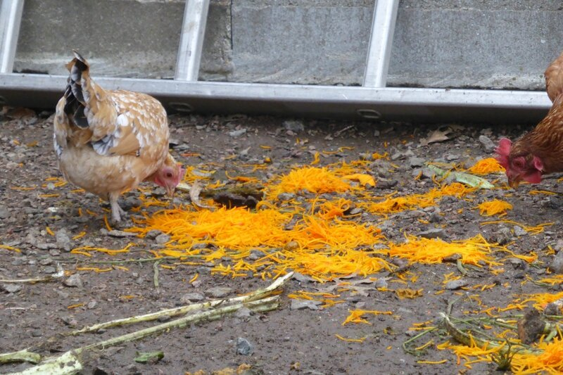 1-poules et potimarron (1)