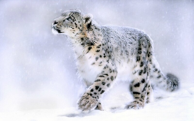 Amazing-Picture-Of-Snow-Leopard-Cub-Russia