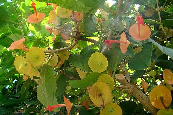 Image-Flore-Fleur-Holmskioldia sanguinea-Fleur chapeau chinois-Martinique 4