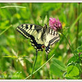 LE Machaon, Grand Porte-Queue :FAMILLE DES :Papilionini