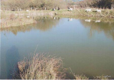 Les biquettes derrière l'étang