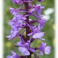 Orchis (Orchidée sauvage)