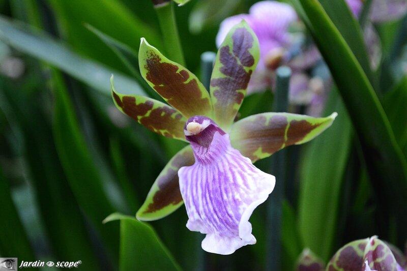 Orchidée-297