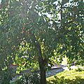 Cerisier à fruits • Prunus cerasus