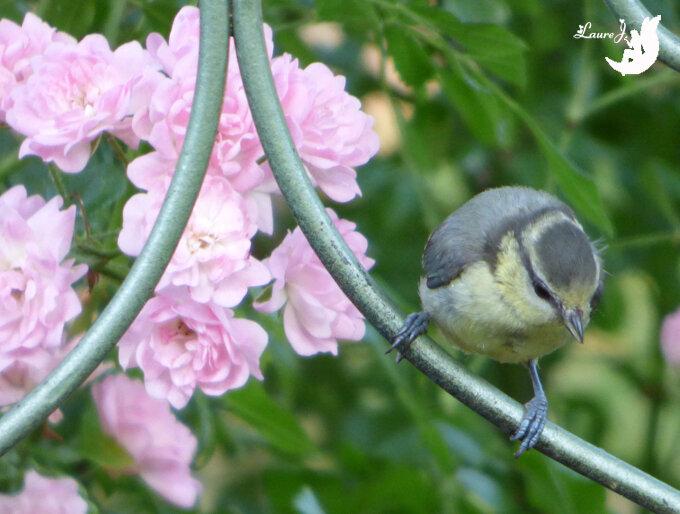 juvenile mesange bleue 4
