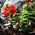 29 05 10 Rhododendron Hybrid (3)