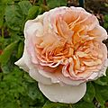 La rose alphonse daudet