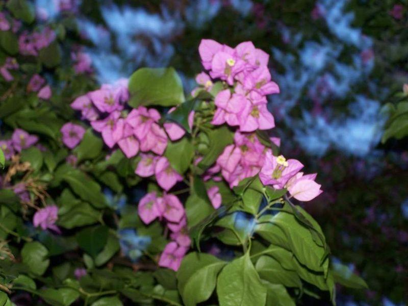 fleurs du Bougainvillier (arbuste)