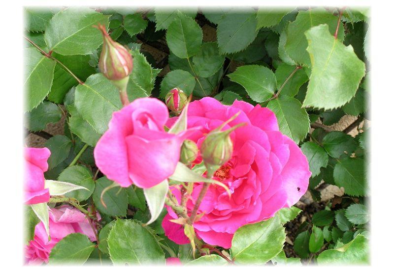 Roses___9_mai_2009