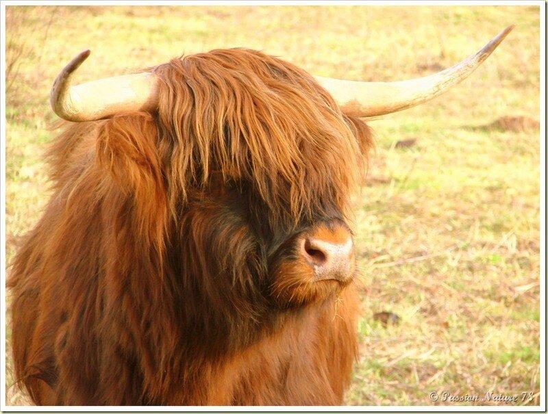 La vache de race Highland (20)