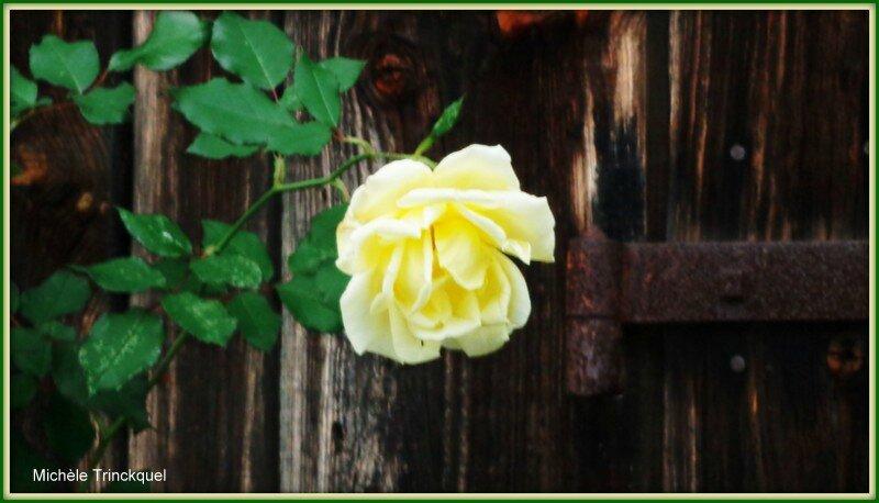 Rose jaune devant porte de grange
