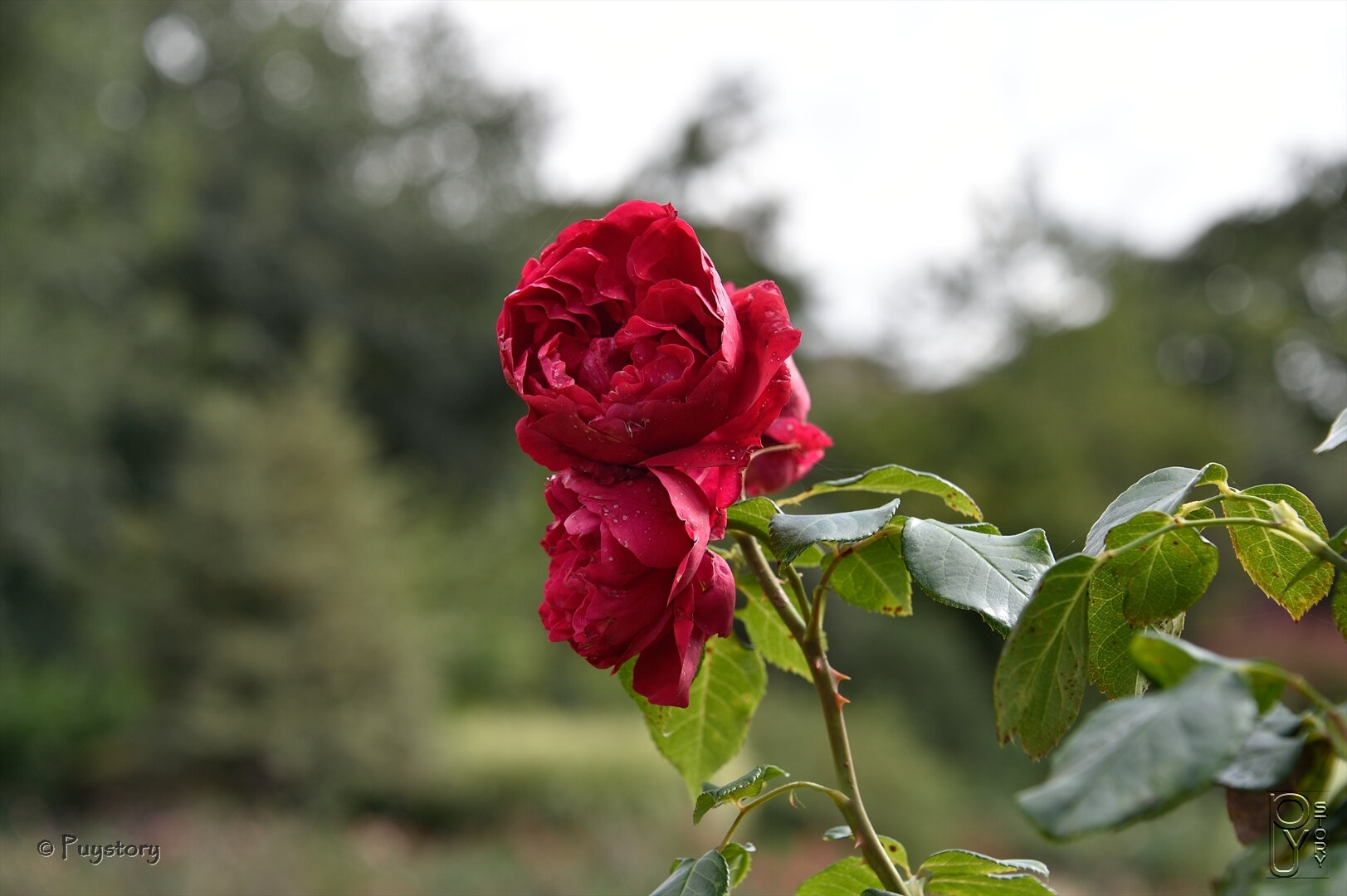 Rose Cupidon rencontres site commentaires