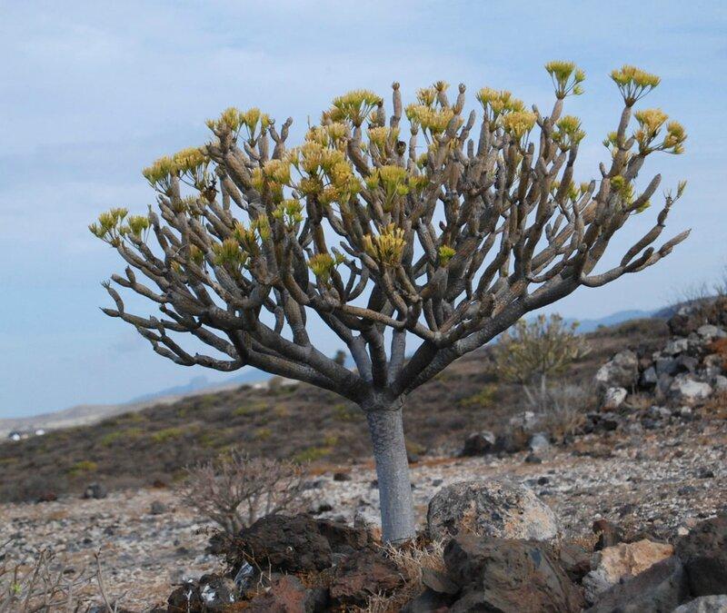 Kleinia neriifolia a