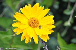 Heliopsis helianthoides 2