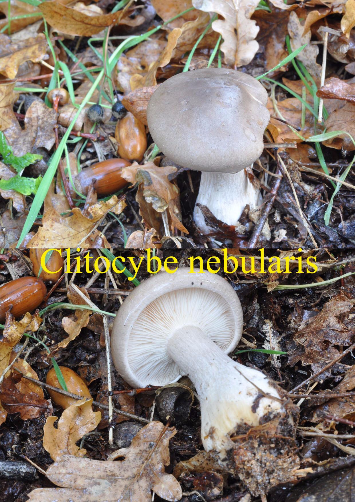 Clitocybe nebularis