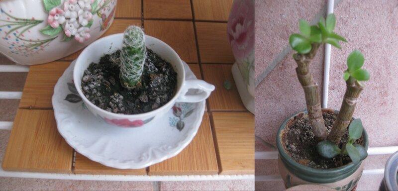 compo cactus 3