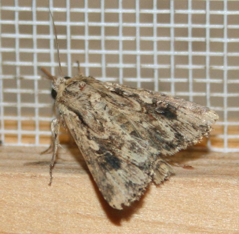 Mythimna borbonensis