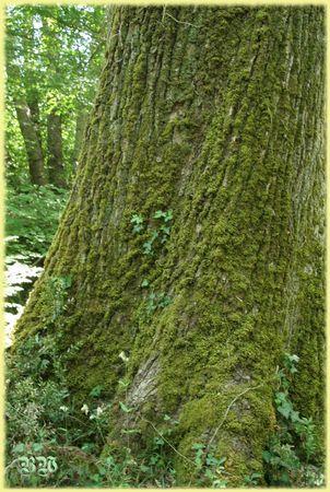 arbre_moussu