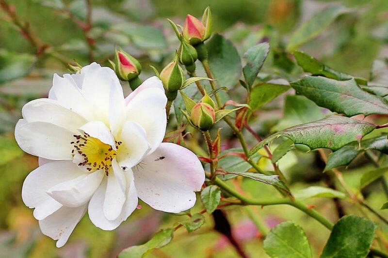 bush-rose-1804888_1920