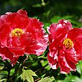 Pivoines rouges_13 14 05_2637