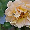 Mignonne ,allons voirsi la rose ... (essai)