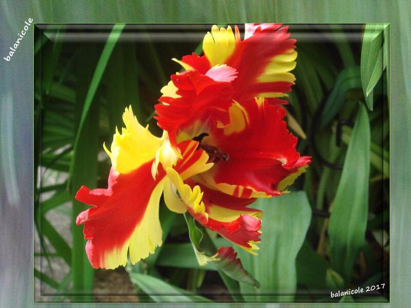 balanicole_2017_05_le printemps des tulipes_32_sang et or