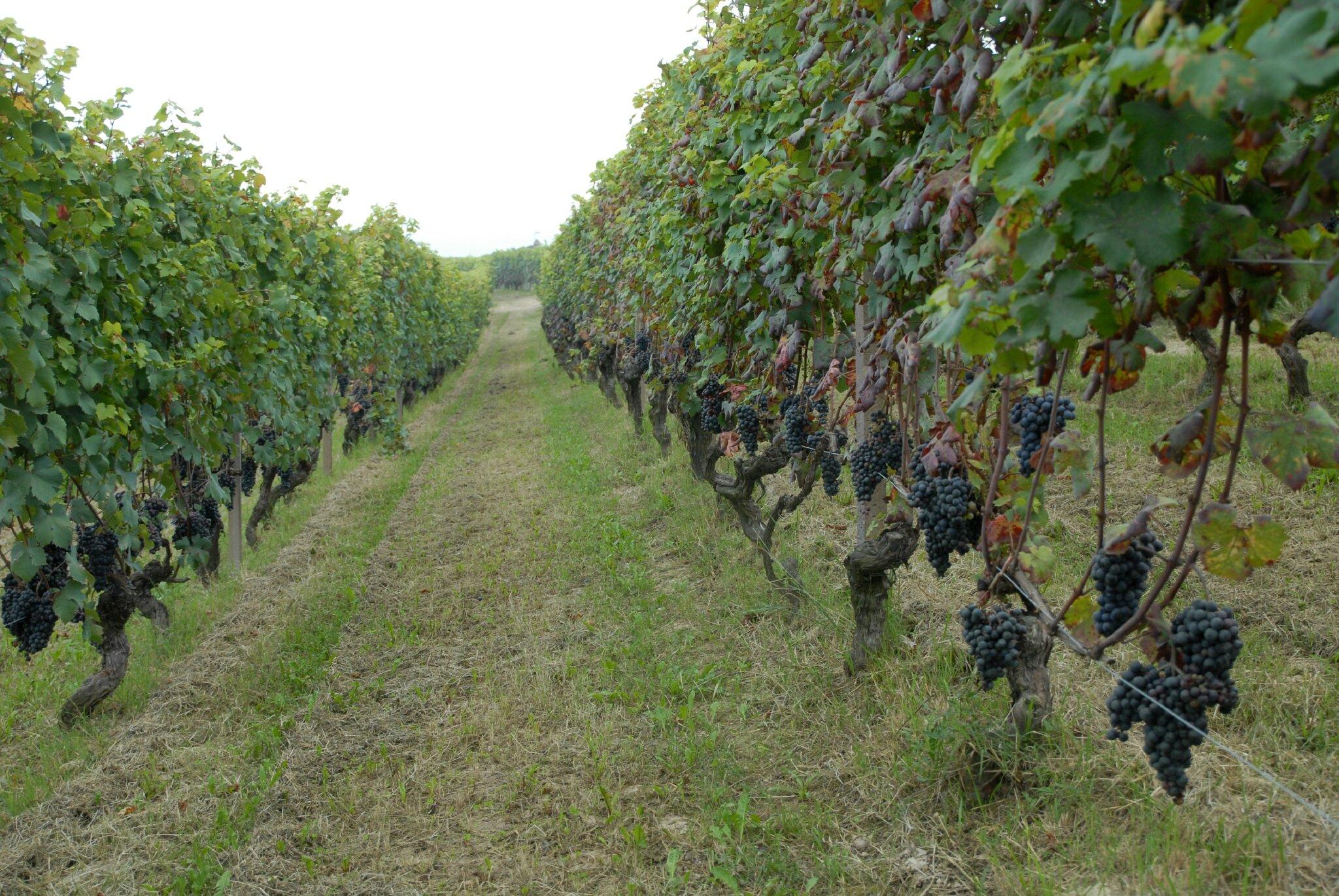 vignes de Barolo