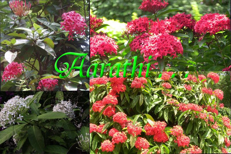 Ixora flowers of Kerala