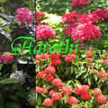 Ixora flowers of Kerala