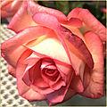 Je vous offre une rose